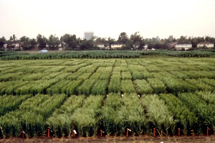 A view of cereal research plots for the Eastern Cereal and Oilseed Research Centre. (photo from Agriculture and Agri-food Canada)