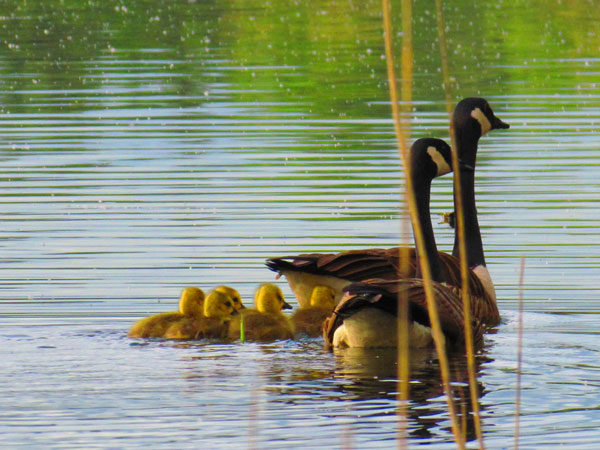 Canada geese and goslings on Moreau Lake. NCPR photo of the day by Susan Dornan, Ft. Edward NY.