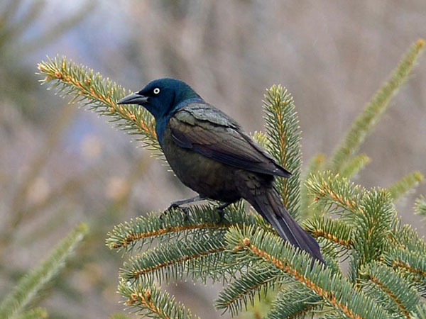 "Common grackle. ""Good to see the return of this much-maligned (with some reason), super-intelligent king of the backyard."" Photo of the day by Ed Murphy, Vermontville, NY"