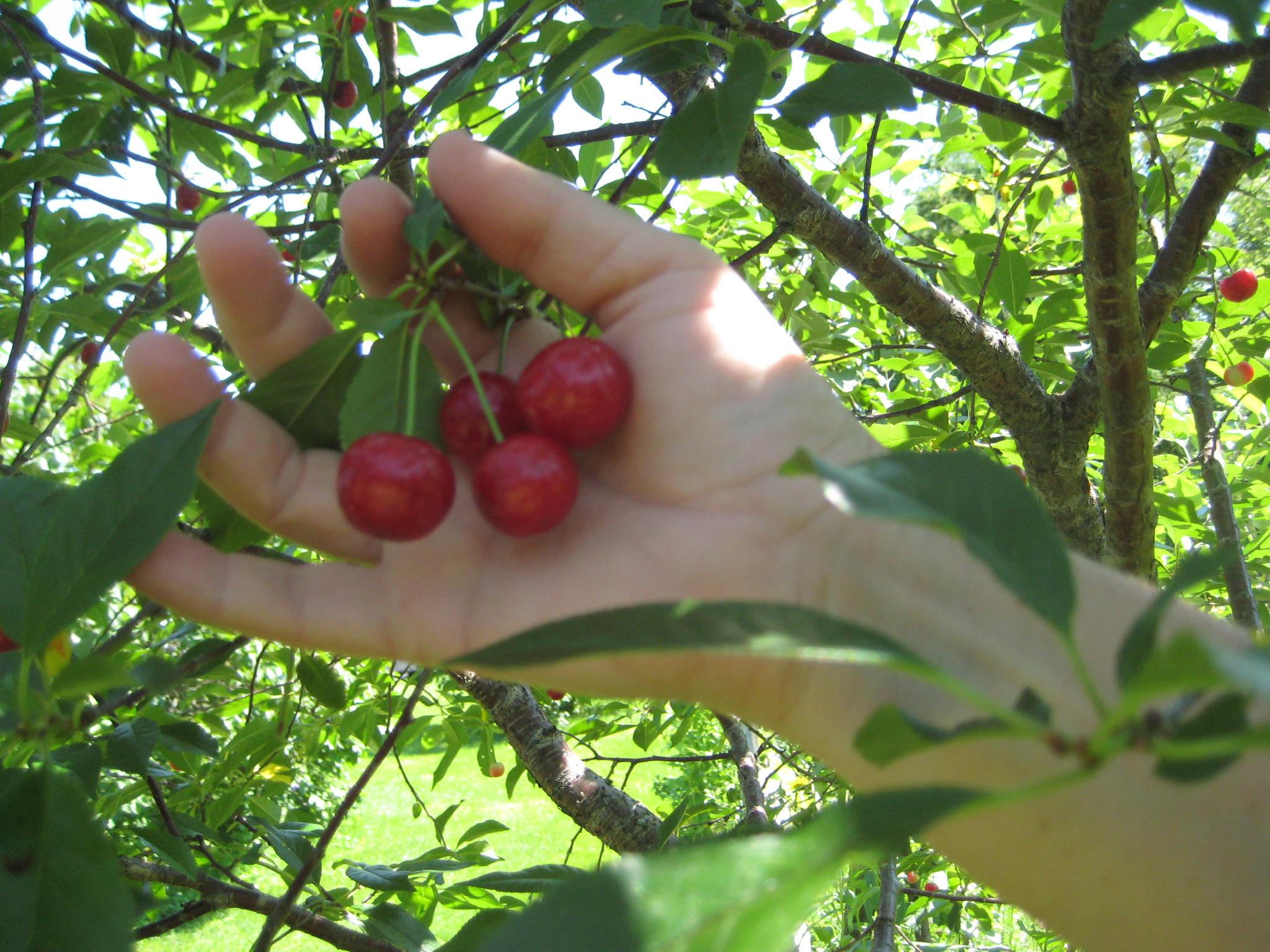 Выращивание черешни и уход за ней Образцовая Усадьба 57