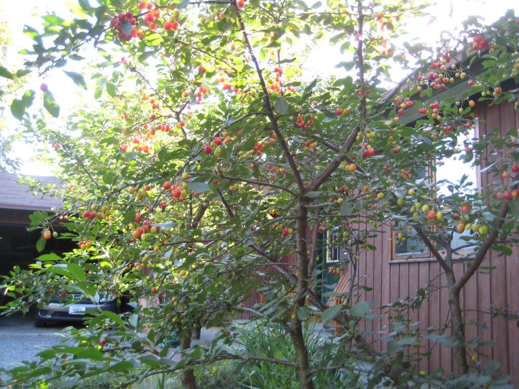 Two dwarf sour cherries planted in the early 2000's in full fruit. (2008 photo by Lucy Martin)