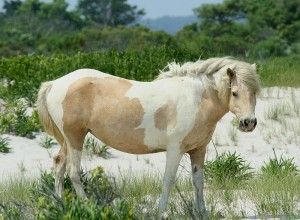 Chincoteague pony (aka Assateague horse), via Wikipedia/Creative Commons