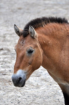 Przewalski's horse. Photo via Wikipedia/Creative Commons.