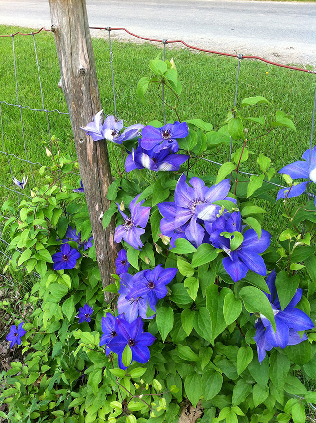 Clematis climbing the garden fence.