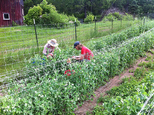 Farm apprentice Claire Arrowsmith and Little Grasse co-owner Flip Filippi picking the first harvest of peas.