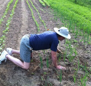 Little Grasse CSA volunteer Robert Hoffmann weeding onions. Get those knees dirty!