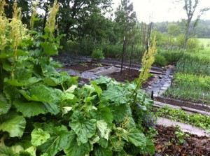Rhubarb gone to flower, pole beans in the background just planted.