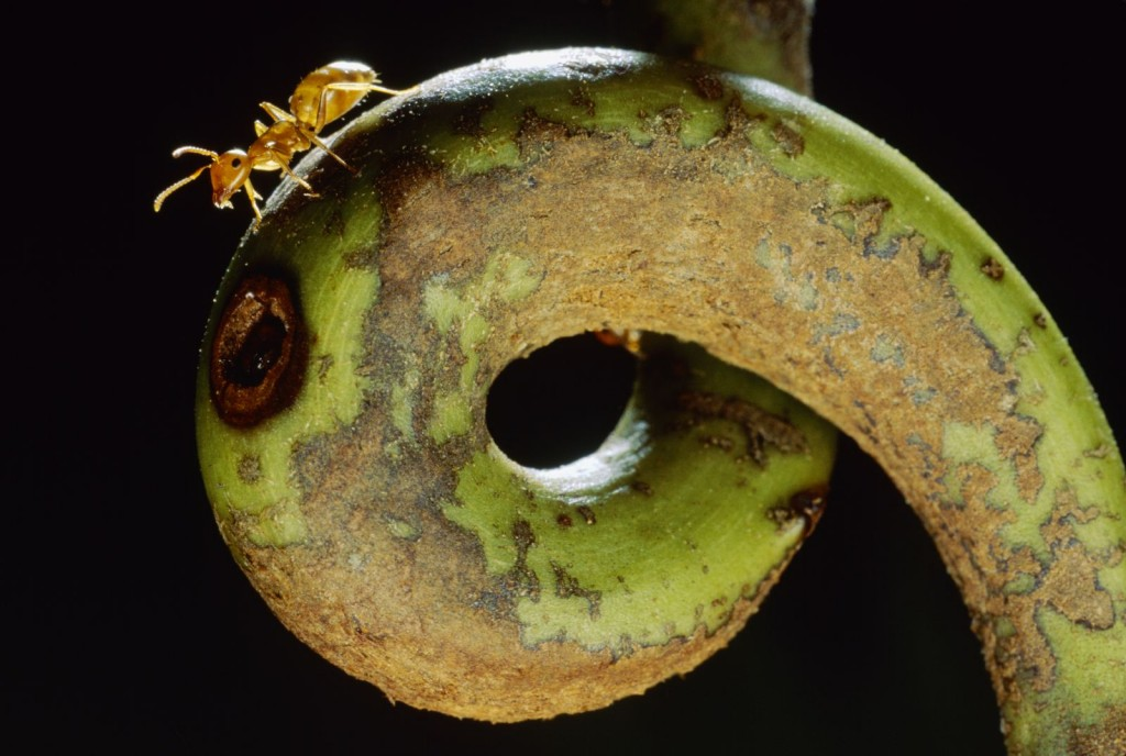 Borneo Camponotus sp. Some carpenter ants live where others wouldn't dare— inside an insect-eating pitcher plant. (photo: Mark W. Moffett/Minden Pictures , used by permission)