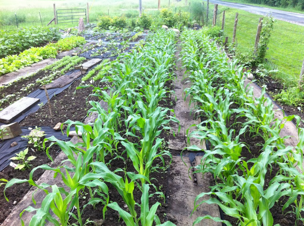 Here's the corn in my garden. Just knee high. Whew! July 4th is Thursday.