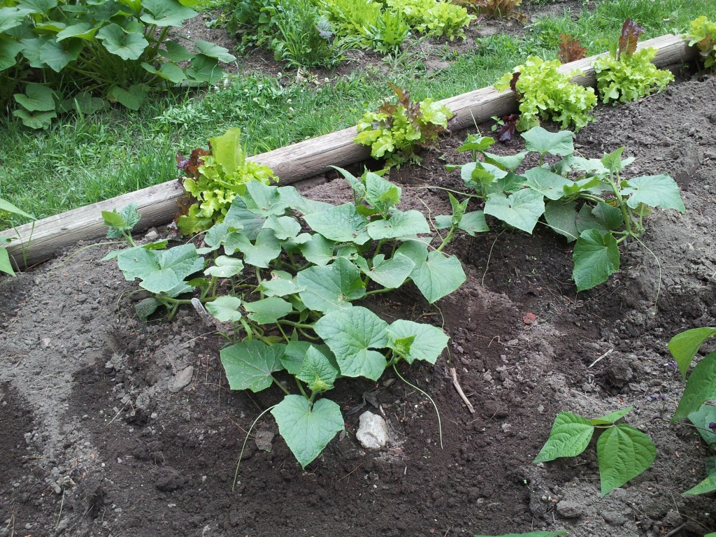 Cucumbers spreading. Photo: James Rudd