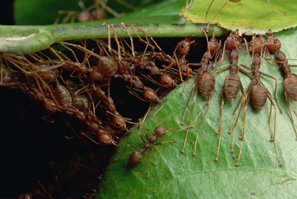 Malaysia & Cambodia Oecophylla smaragdina Working in concert, weaver ants pull the leaves of their tree crown nests together with their bodies. (photo: Mark W. Moffett/Minden Pictures, used by permission)