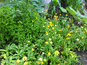 Spearmint and Calendula (plus a few volunteer sunflowers): The mints spread readily, so beware. Once you plant calendula, you'll never have to plant again. An annual that successfully self seeds. Mentha spicata, Calendula arvensis.