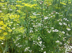 Dill and Coriander/Cilantro: welcome herbal volunteers, re-seed more than once a season. Anethum graveoleous, Coriandrum sativum.