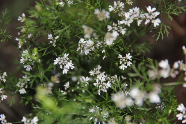Cilantro flowers and seed ready for harvesting. Photo: Cassandra Corcoran