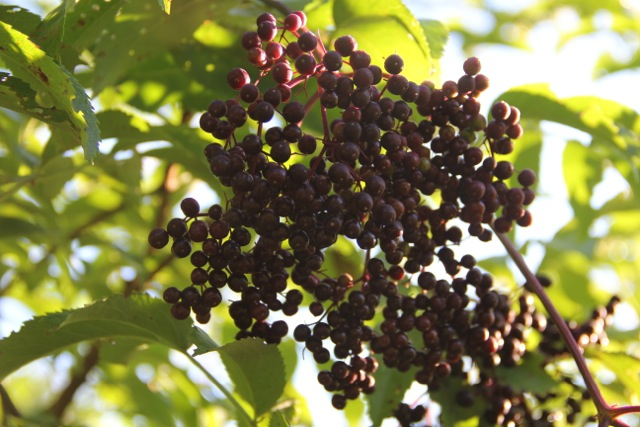 Elderberries--for making cough syrup and wine. Photo: Cassandra Corcoran