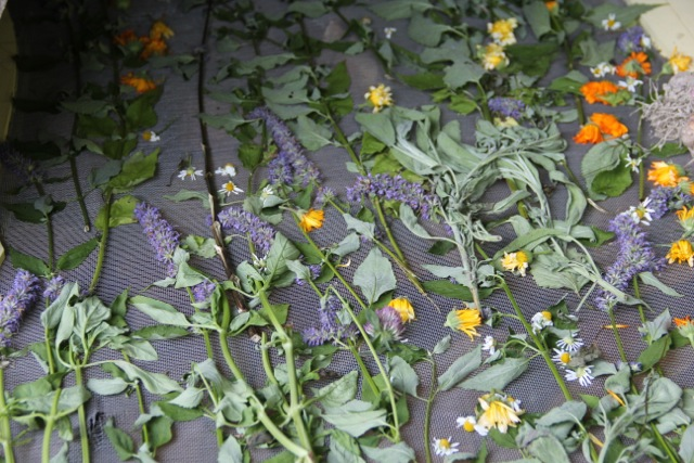 Mixed flowers for tea--calendula, clover, chamomile and hyssop. Photo: Cassandra Corcoran