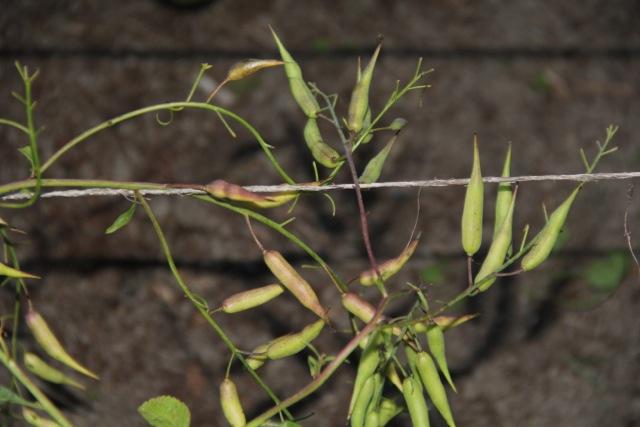 Radish seed. Photo: Cassandra Corcoran