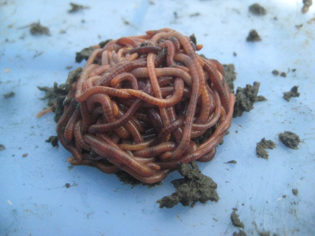 Aren't they adorable? Red worms for worm composting. (photo: Lucy Martin)