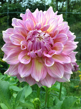 One of my favorite dahlias. Photo: Louise Scarlett