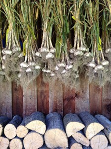 Garlic curing on the back porch, tagged by variety and size so I can plant the biggest and eat the others. Did have some leek moth damage, not as severe as last year. Photo: Louise Scarlett