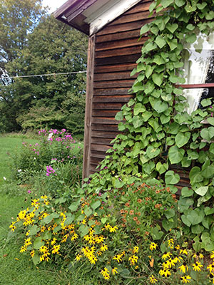 Volunteer morning glories taking over the black-eyed Susans and sneezeweed. Photo: Martha Foley