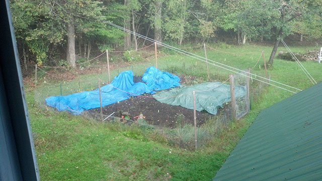 Our tarp crop is coming along fine. Some is bluing up nicely, while some is still quite green. We got some frost last night, but it should pull through. Photo: Peter Wilson