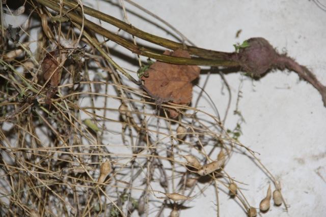 Harvesting radish seed. Photo: Cassandra Corcoran