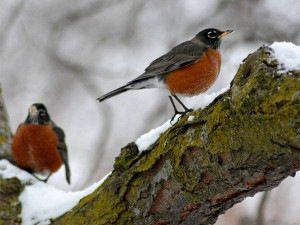 Robins toughing out the winter in Wisconsin. Photo: Jonathan Bloy, Creative Commons, some rights reserved