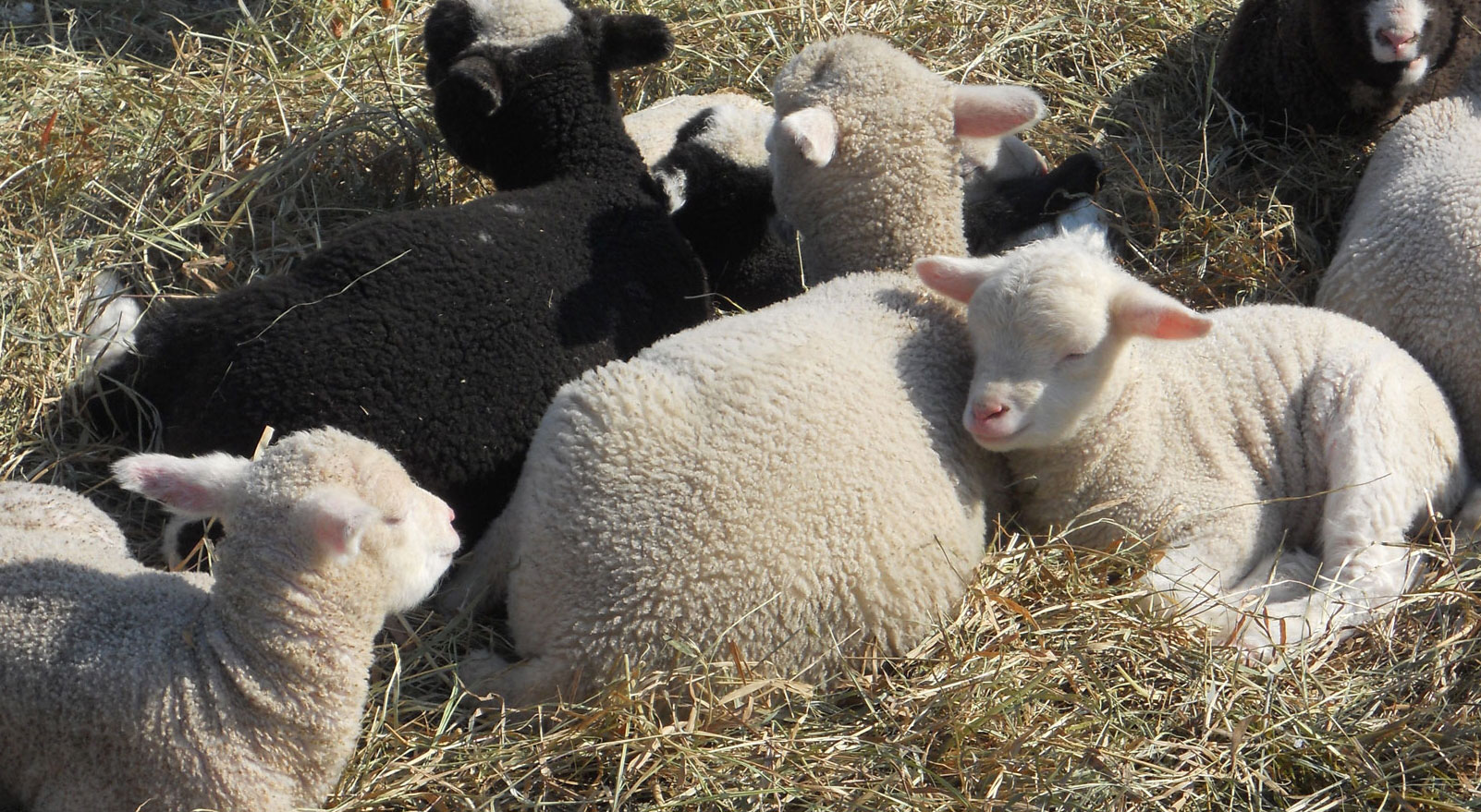 Lambs play a symbolic role in both Easter and Passover. Photo: Ellen Rocco