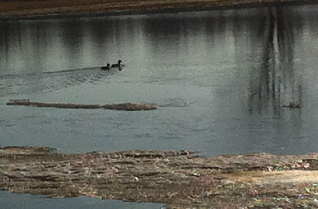 A pair of ducks on flooded creek. Photo: Ellen Rocco