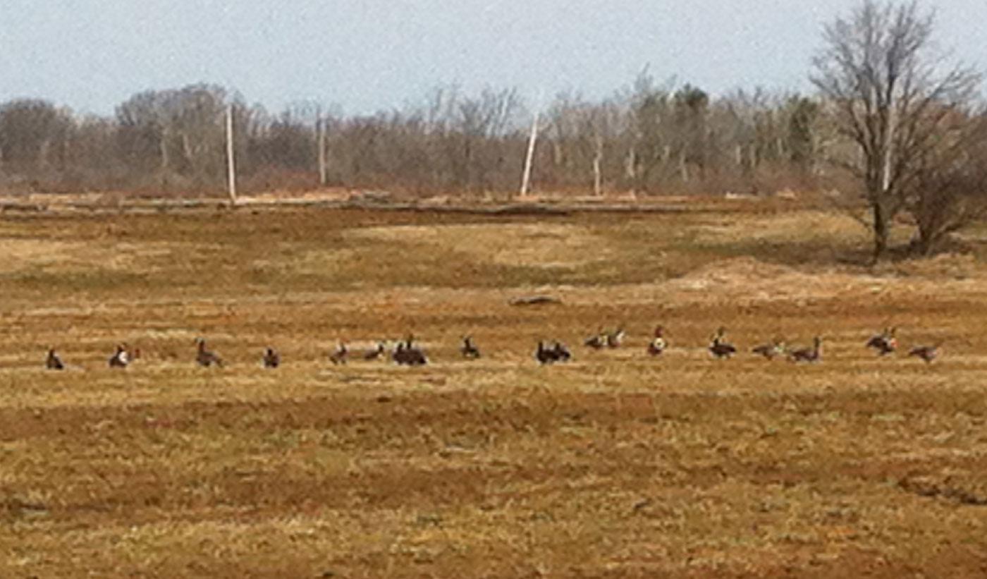 Geese browsing old corn field.