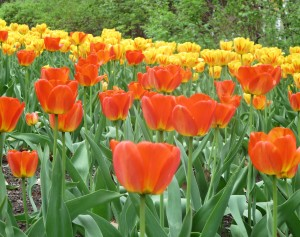 If the sun comes out again, the tulips may look this bright for the holiday weekend. photo: Lucy Martin