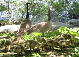 These Canada geese along the Ottawa River were more used to intrusive humans.  Photo: Lucy Martin