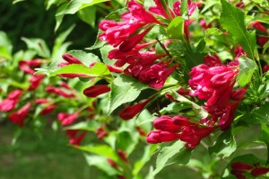 Close up of red weigela. Photo: Abramson
