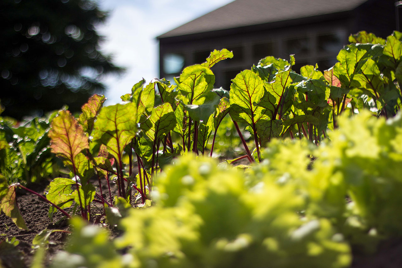 Beets reaching toward the sun. Photo: Daniel Romlein, Potsdam