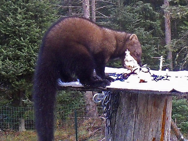 A rare daytime visitor to the suet feeder--a fisher--caught on trail cam. Photo: Larry Master, Lake Placid, NY