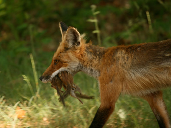 Red fox headed home with lunch for the crew. Photo: Amy Cook, Gouverneur NY.