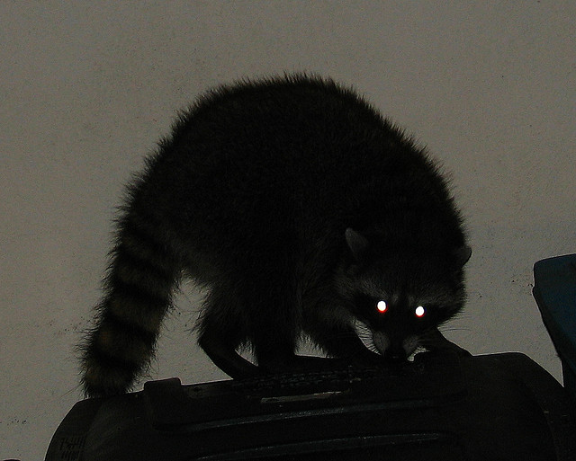 Raccoon. Photo: Eliya, via Creative Commons, some rights reserved.