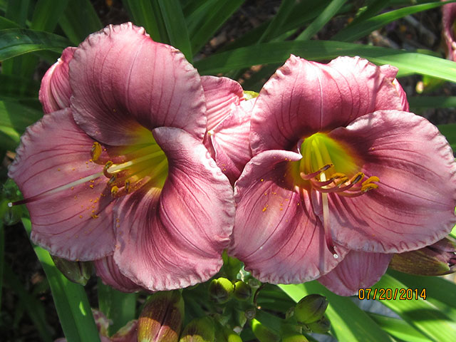 Daylily Pasque Flower. Photo: Ken and Barb Adams