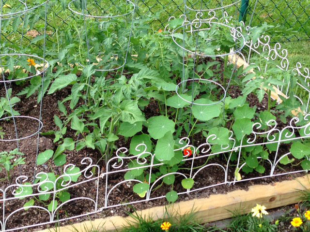 Jess Prody's tomato and nasturtium patch in Canton. Photo: Jon Sklaroff