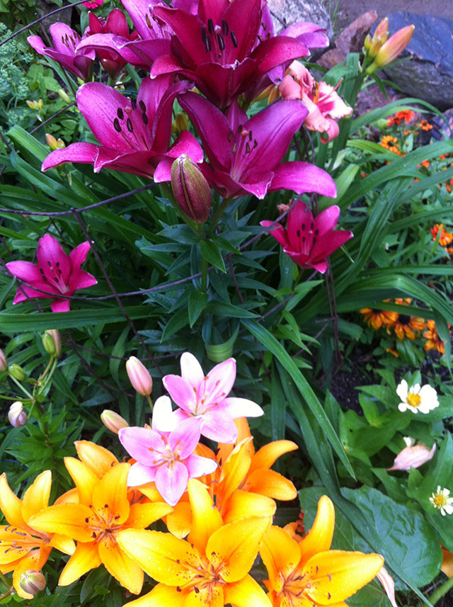 Lilies in front of my DeKalb house. Photo: Ellen Rocco