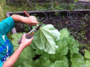Trimming rhubarb. Photo: Becky Bradt