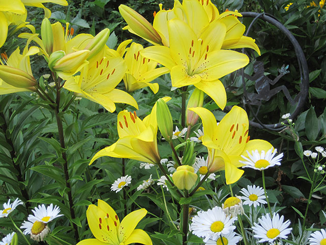 Lilies and daisies. Photo: Helene Vanderburgh