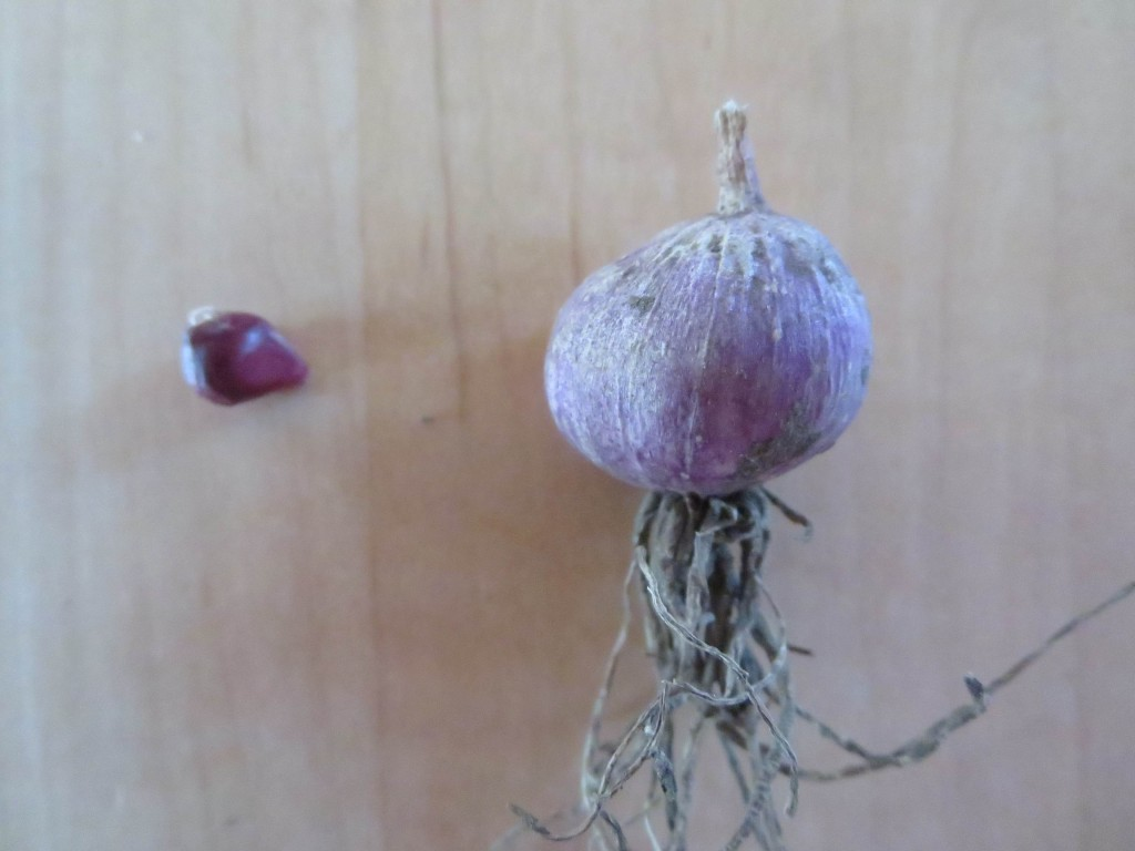 The next step: plant the wee one in the fall. By spring it'll be the size of a small radish. Photo Lucy Martin