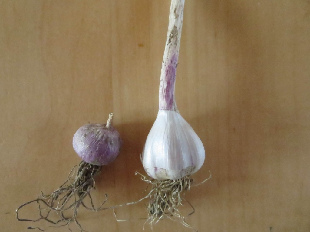 Re-plant the small radish size in the fall and it'll grow into a small bulb, with individual cloves. Photo: Lucy Martin