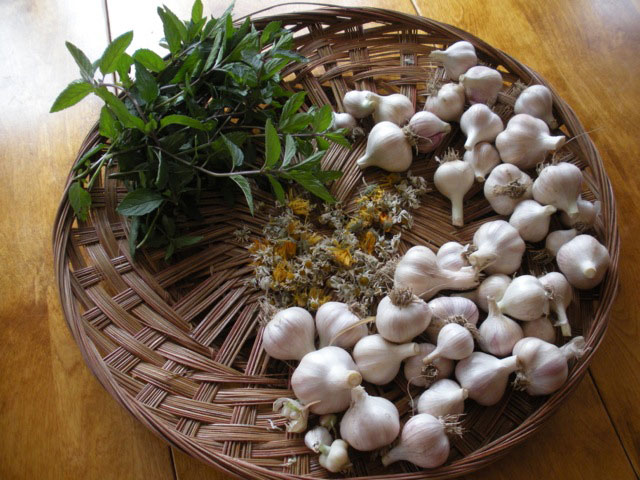 Mint, dried chamomile and cleaned garlic. Photo: Cassandra Corcoran, Monkton VT