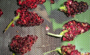 Sumac drupes ready to be dried into sumac powder or used for tea. Photo: Cassandra Corcoran, Monkton VT