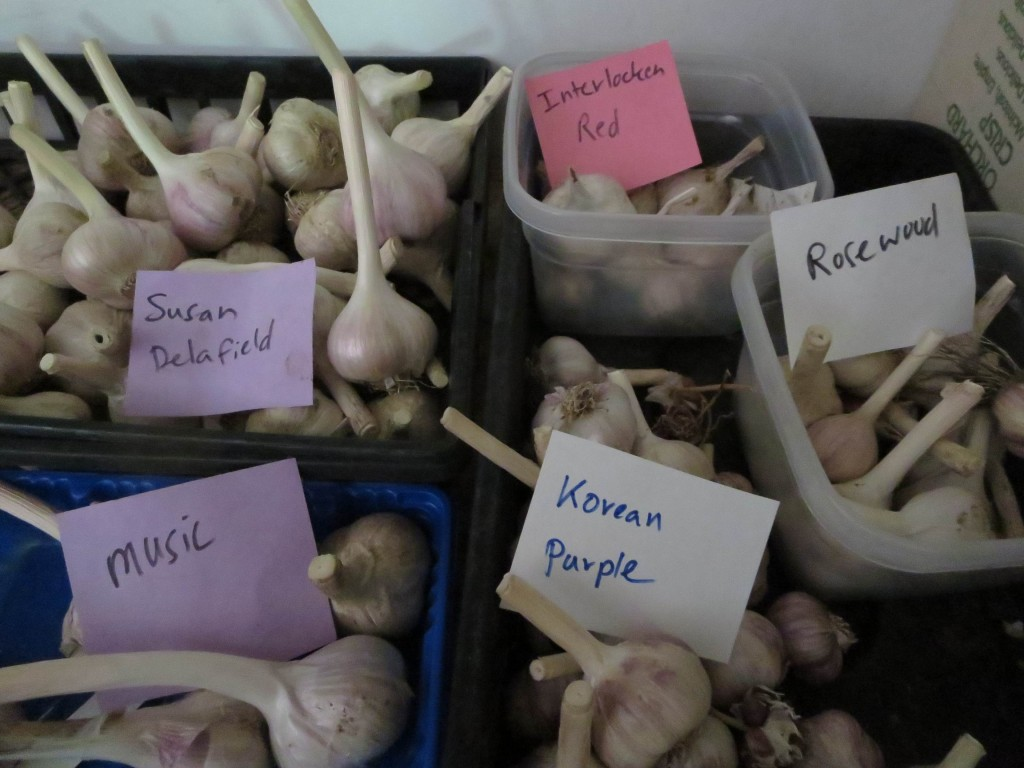 Garlic comes in a wide array of varieties. Labels and clear separation will be essential to not get them mixed up. Photo: Lucy Martin