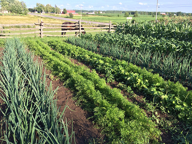 The Pierce family vegetable plot in Lisbon: a bumper crop of carrots, onions and corn. Photo: M.D. Pierce