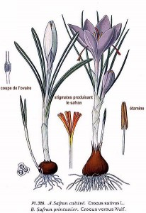 Crocus sativus, Atlas des plantes de France. 1891